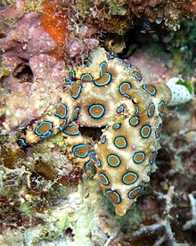 hapalochlaena_lunulata_greater_blue_ringed_octopus