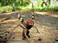 phoneutria_nigriventer_brazillian_wandering_spider