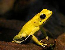 phyllobates_terribilis_golden_poison_frog