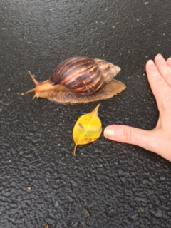 giant_african_snail