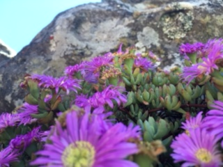 I really know nothing about flowers but these gorgeous purple flowers were growing out of cracks in the rock.